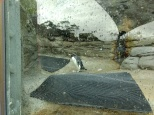 Penguins in Australia!