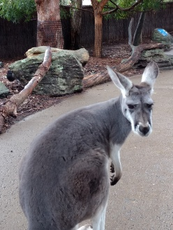 "Kangaroos express a lot with their faces and posture. This one is saying ""Stop following me with that camera."""